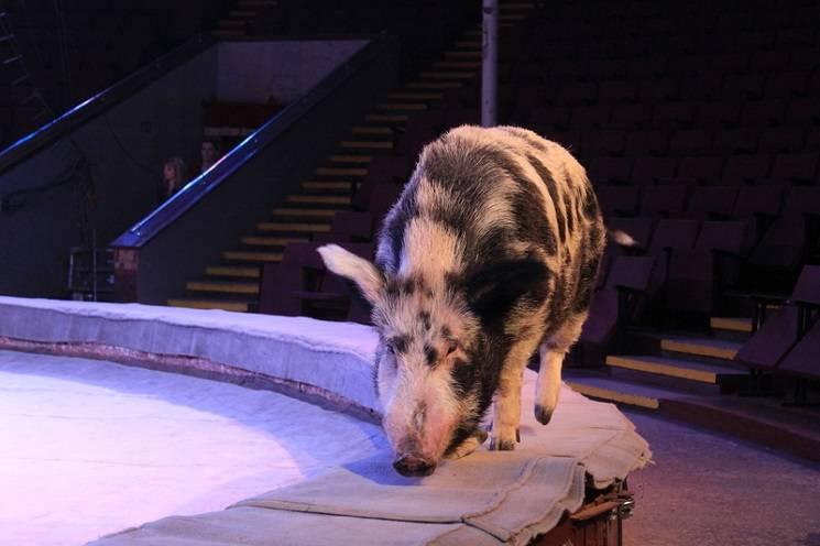 умная свинья