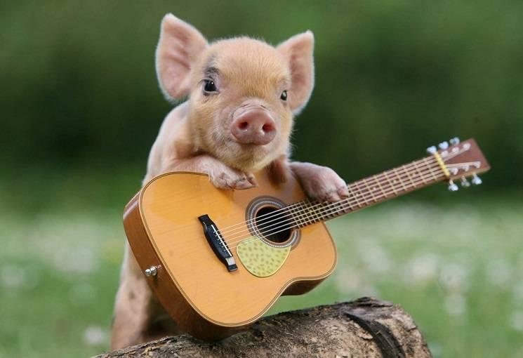 поросёнок играет на гитаре