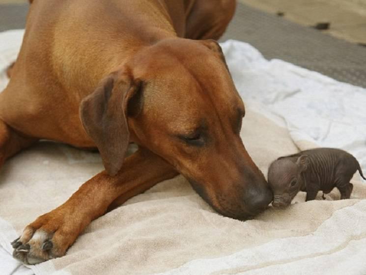 собака и мини пиг