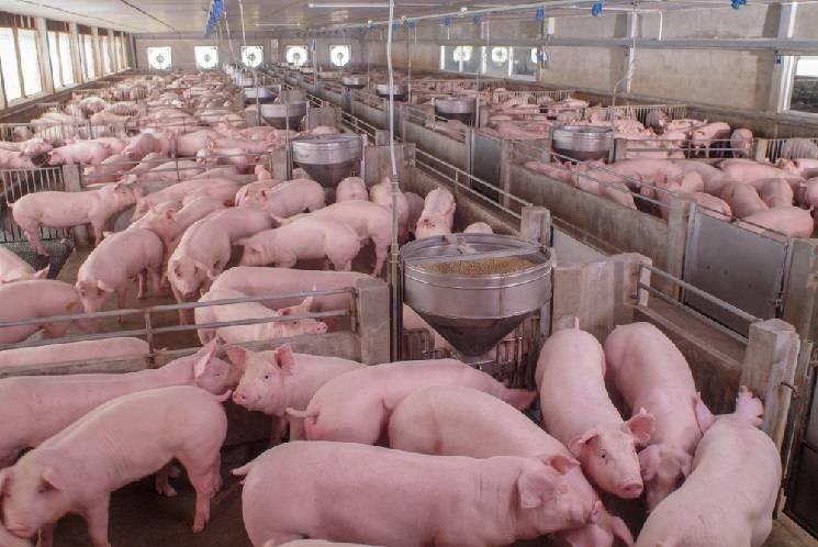 американская свиноферма