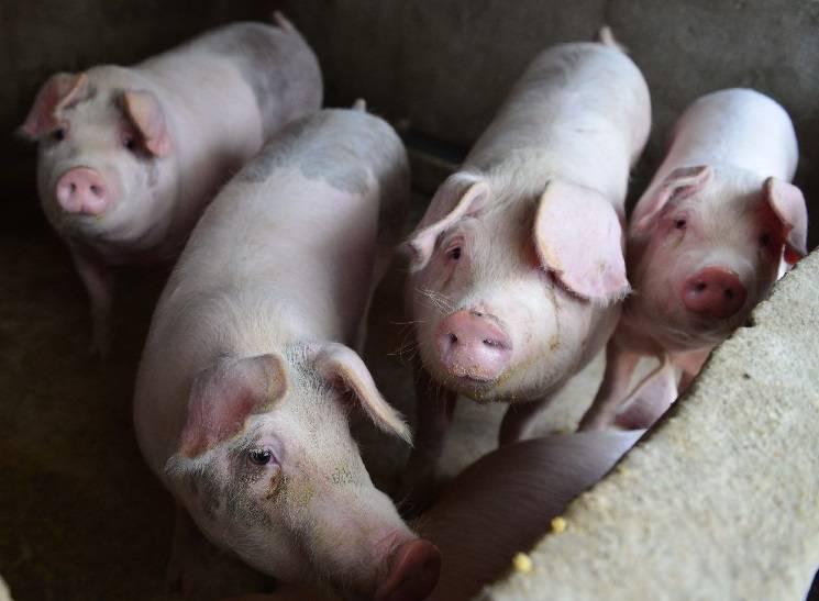 свиноферма в Америке