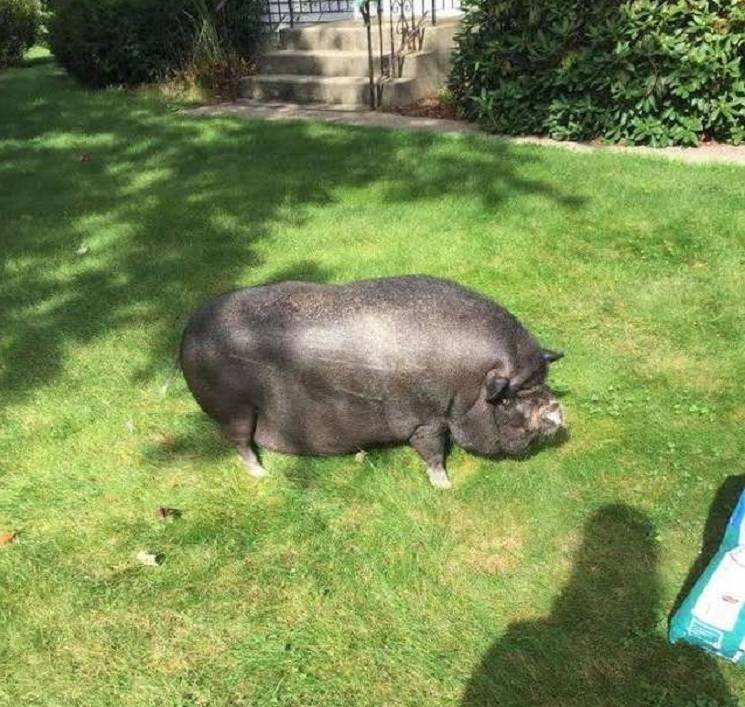 свинья на траве