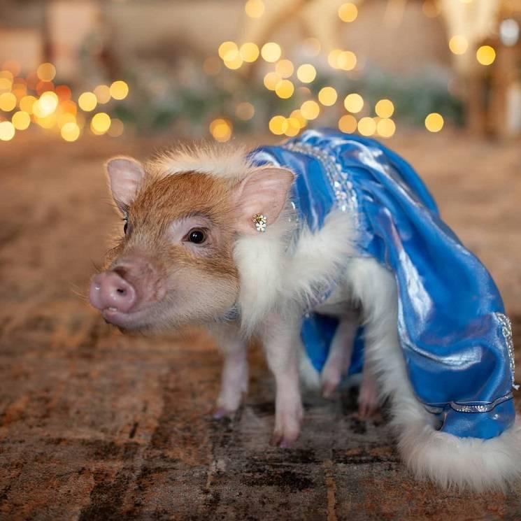 свинья снегурочка