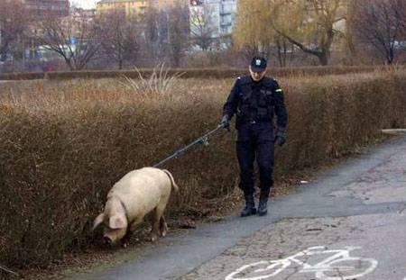 Свинья - ищейка