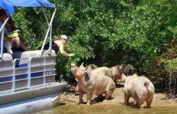 Спасательная команда выкрала свиней с острова на реке Дельта