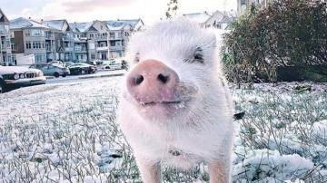 Свинка из Квебека, любящая путешествовать, завоевывает все большую популярность в социальных сетях