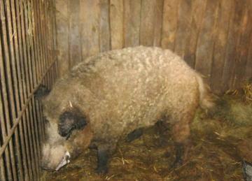 Что делать если вьетнамская свинья кашляет и теряет волосы?