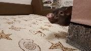 Пухля играет в прятки