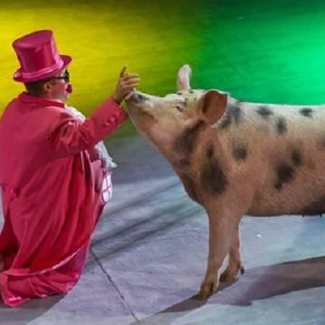 Свиньи в цирке: номера меняются – хрюши остаются