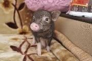 Свинья позирует для фото