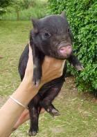 Миниатюрная вислобрюхая свинья