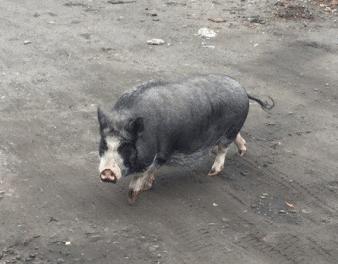 Свинья-беглянка - звезда интернета