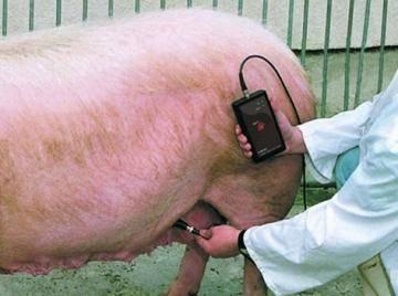 Как не прозевать начало родов у свиньи? – Клуб любителей хрюш