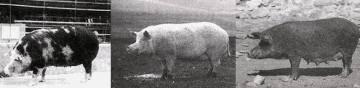 Породные группы свиней