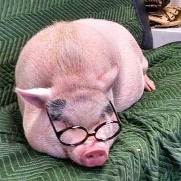 Большая миниатюрная свинья
