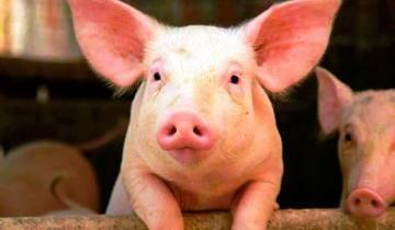 Проект, который делает органы свиней пригодными для трансплантации людям