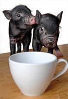 Британская ассоциация владельцев свиней породы кун-кун предупреждает