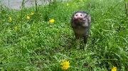 Свинка Пухля