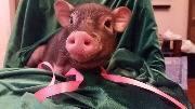 Свинья в праздник, красивая свинка