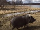 Финский мини пиг