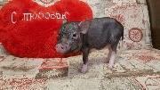 День святого Валентина у Свинки