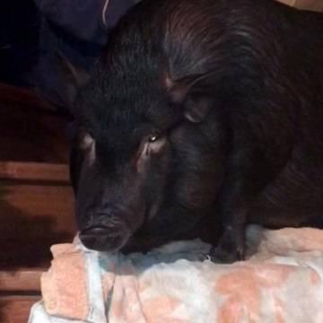 Дуся - вьетнамская свинка