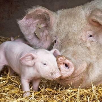 Как называется место где живут свиньи
