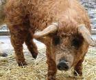 Свиньи-овцы: Возвращение мохнатого чуда