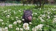 Свинка в клевере