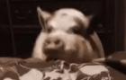 Мини пиг прыгает на кровать
