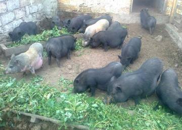 Вьетнамские вислобрюхие свиньи – неплохой бизнес?
