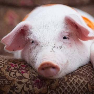 Псевдобешенство (ложное бешенство, болезнь Ауески) у мини-пигов и свиней