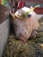 Свинкопарад в Луцке
