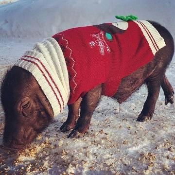 Мини-пиги зимой: мерзнут или нет, как гулять