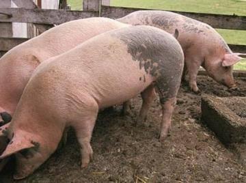 кожные заболевания фото и описание у свиней