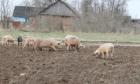 Свиньи - налётчики