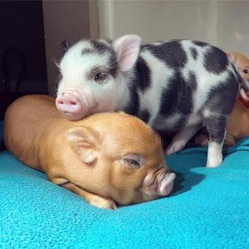 Маленькая свинка носится по комнате