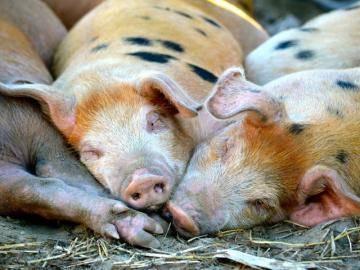 Свиньи перестали есть что делать