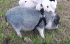 Первая трава мини пига