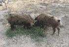 Мини пиги в Австралии