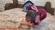 Свинья танцует