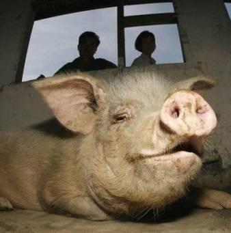 Гигиена содержания карликовых свиней