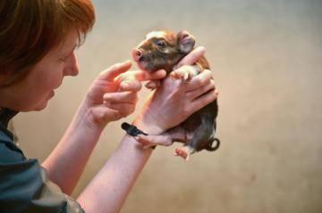 Почему не стоит покупать миниатюрных свинок?