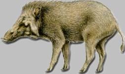 Яванская свинья (Sus verrucosus)