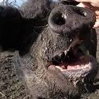 Хогзилла (Хрякзилла) – свинья железного века