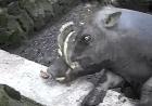 Бабирусса в зоопарке