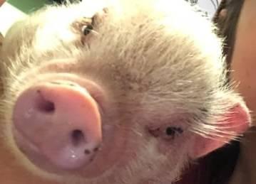 Свинья как домашнее животное?