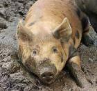 Заразные болезни свиней
