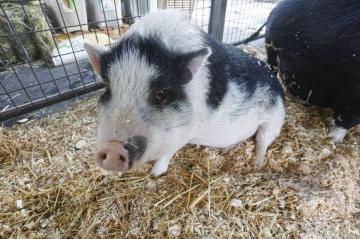 «Они точно как собаки»: настаивает хозяйка вьетнамских вислобрюхих свинок