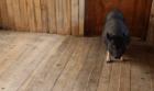 Вьетнамская вислобрюхая свинка играет в футбол